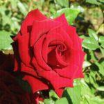Алая роза в сентябре