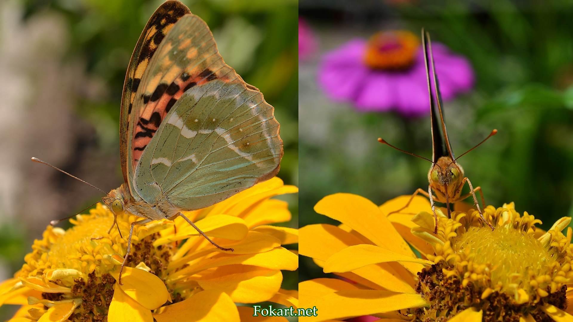 Перламутровка большая на цветке, вид спереди и сбоку