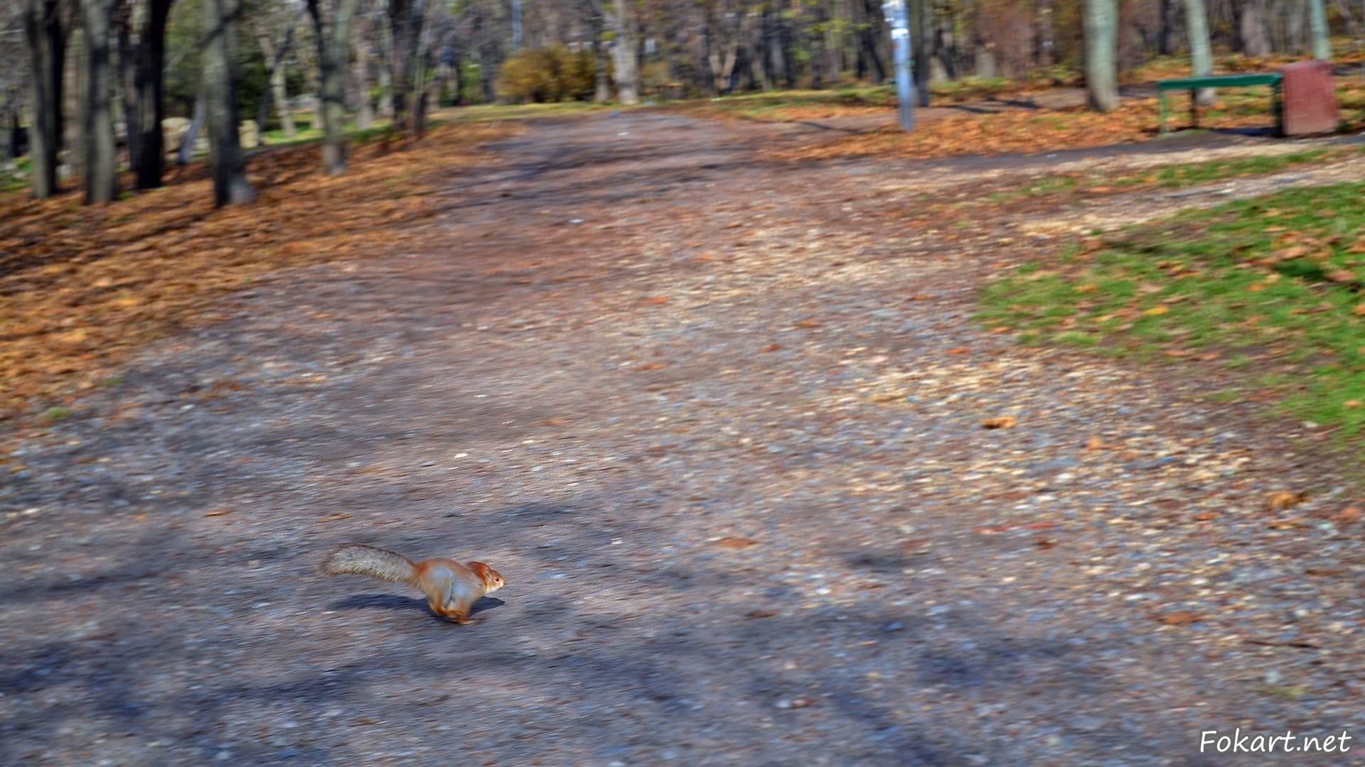 Белка бегом пересекает дорожку осеннего парка