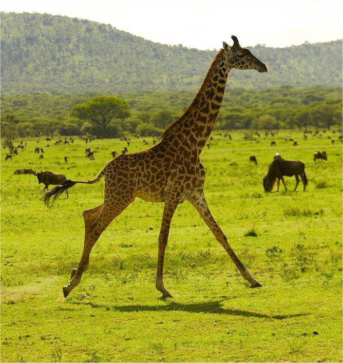 Бегущий жираф