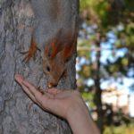 Белка берёт с руки кусочек грецкого ореха