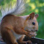 Рыжая белка в летней шубке грызёт грецкий орешек. Июнь