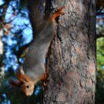 Белка спускается вниз по сосне за угощением - орешком
