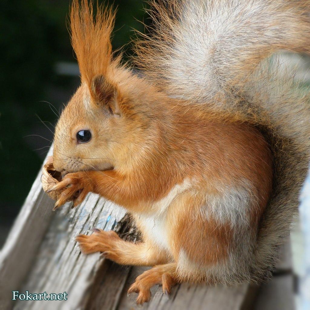 Белка с грецким орешком, фото 3