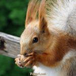 Белка с орешком вблизи