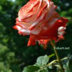 Бело-алая роза, вертикальная картинка