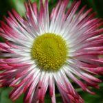 Раскрытый красно-белый цветок маргаритки