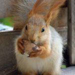Милый 4-месячный бельчонок с половинкой грецкого орешка