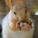 Бельчонок с орешком. Крупный план