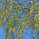 Серёжки и молодые зелёные листики берёзы