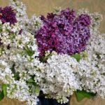 Букет белой и светло-фиолетовой сирени