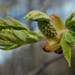 Листики и соцветия каштана весной