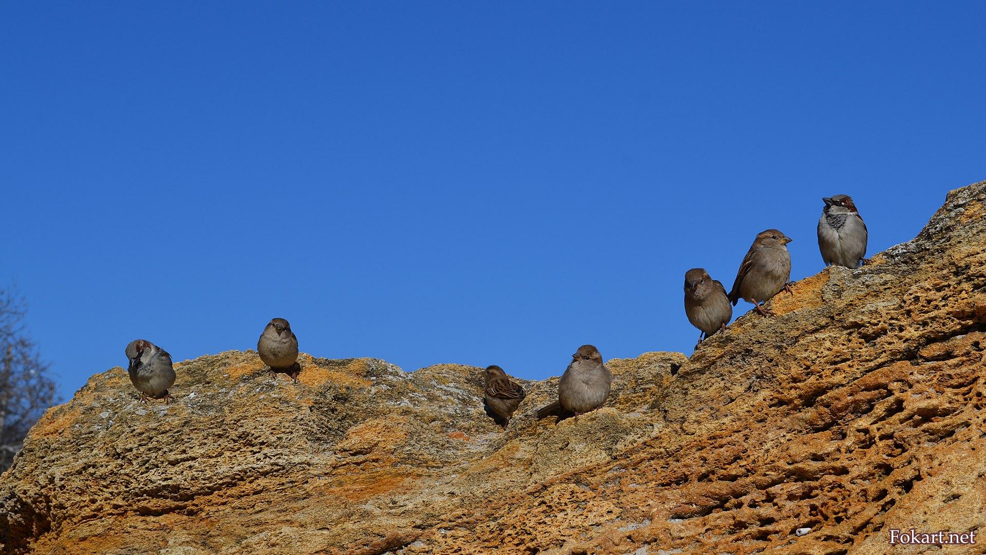 Воробьи на камне