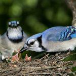 Голубая сойка и птенцы