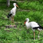 Два белых аиста (Ciconia ciconia) среди майской зелени