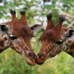 Два жирафа, фото 2