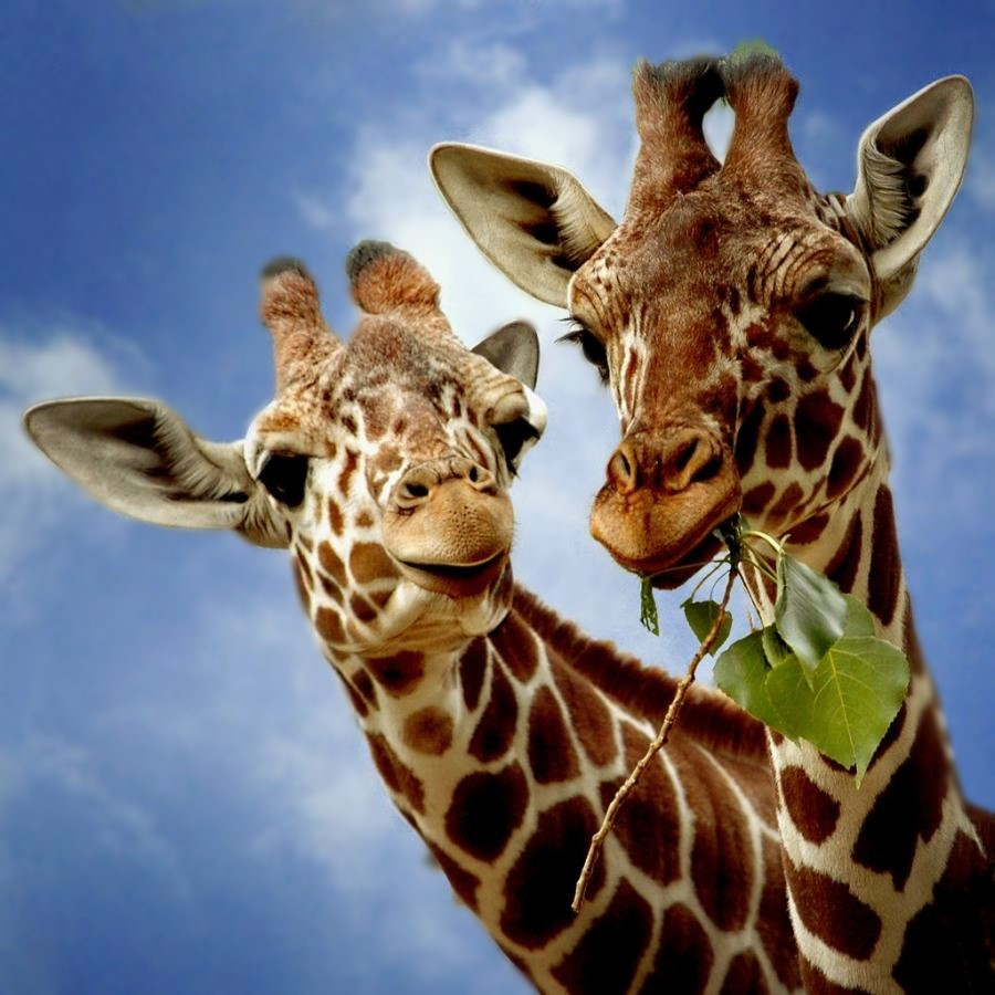Два жирафа, фото 4