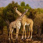 Два жирафа, фото 5