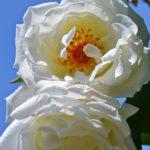 Две белых розы на ветке