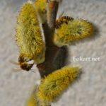 Две пчелы на цветущей ветке вербы