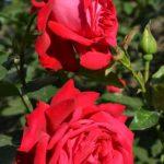 Две красных розы на ветке куста