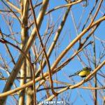 Две синички на голых ветках дерева