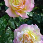 Две розы в утренней росе