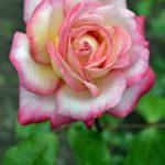 Двухцветная роза, светлая, с малиновыми краями лепестков.