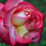 Яркая двухцветная роза с раздвоенной серединкой