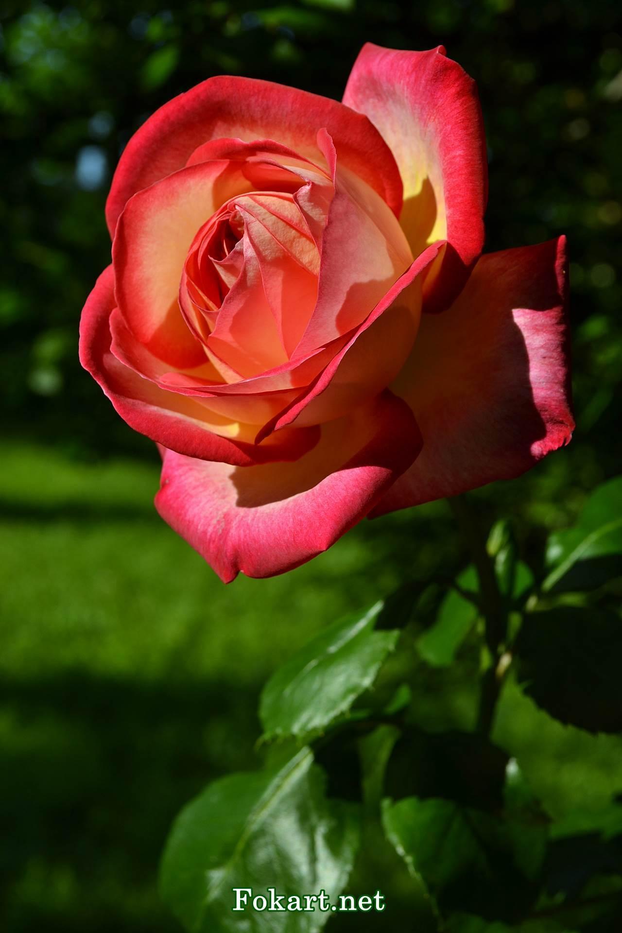 Красивая двухцветная желтовато-красная роза