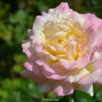 Красивая двухцветная желтовато-розовая роза