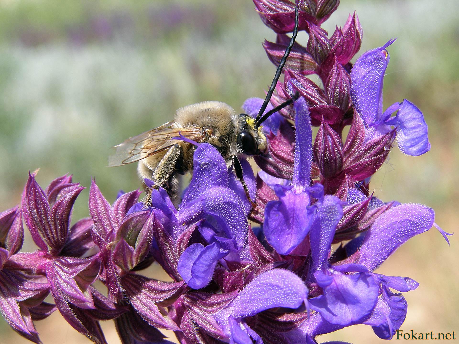 Длинноусая пчела (Eucera sp.) на цветках шалфея лугового