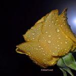 Желтая роза в каплях