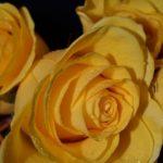 Желтая роза с капельками воды в корзине