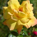 Раскрытая жёлтая роза