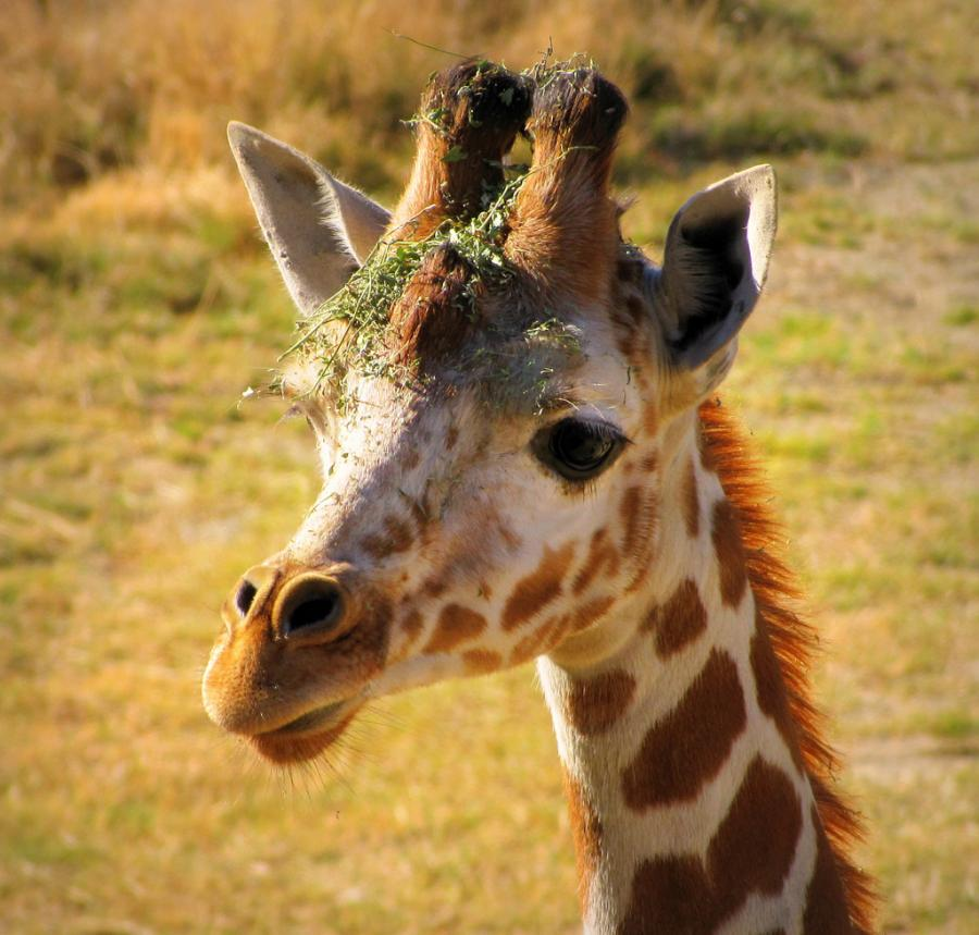 Жирафик, фото 2, молодой жираф