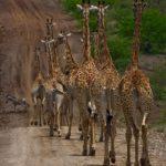 Жирафы идут по дороге