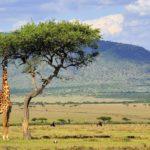 Жираф на просторах Кении