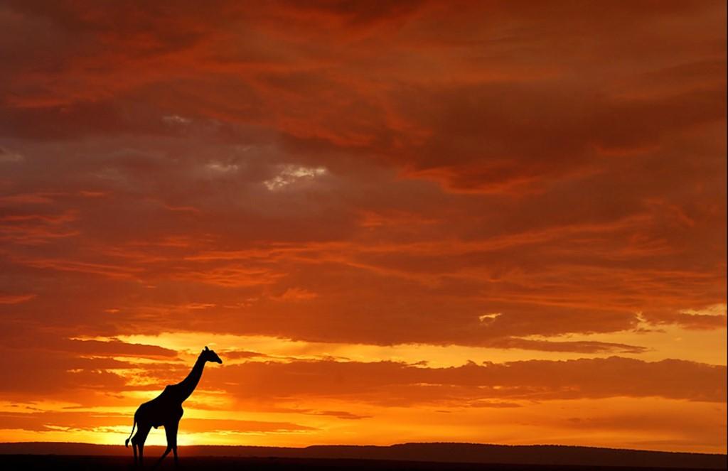 Жираф на фоне заката