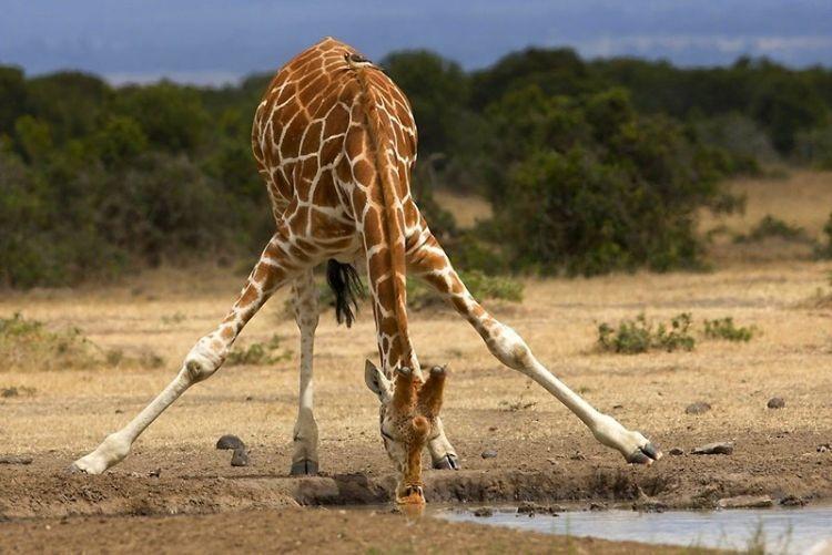 Жираф пьёт воду