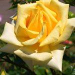 Жёлтая роза вблизи, фото-картина