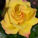 Жёлтая роза крупным планом