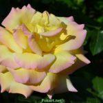 Жёлтая роза с оттенками