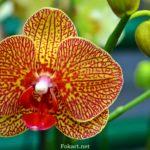 Жёлто-красная орхидея, фаленопсис, цветок