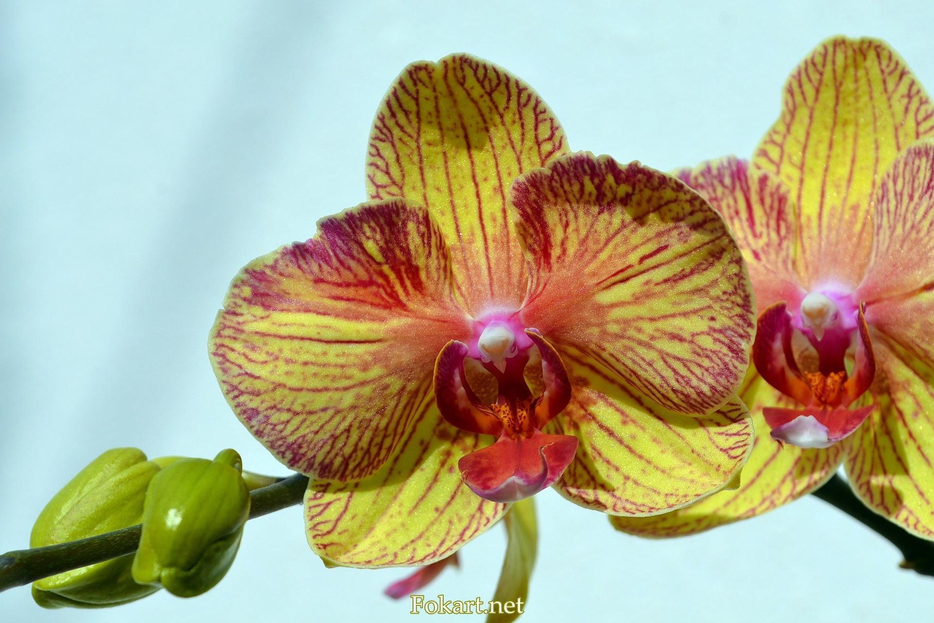 Жёлто-красная орхидея, фото 2, фаленопсис