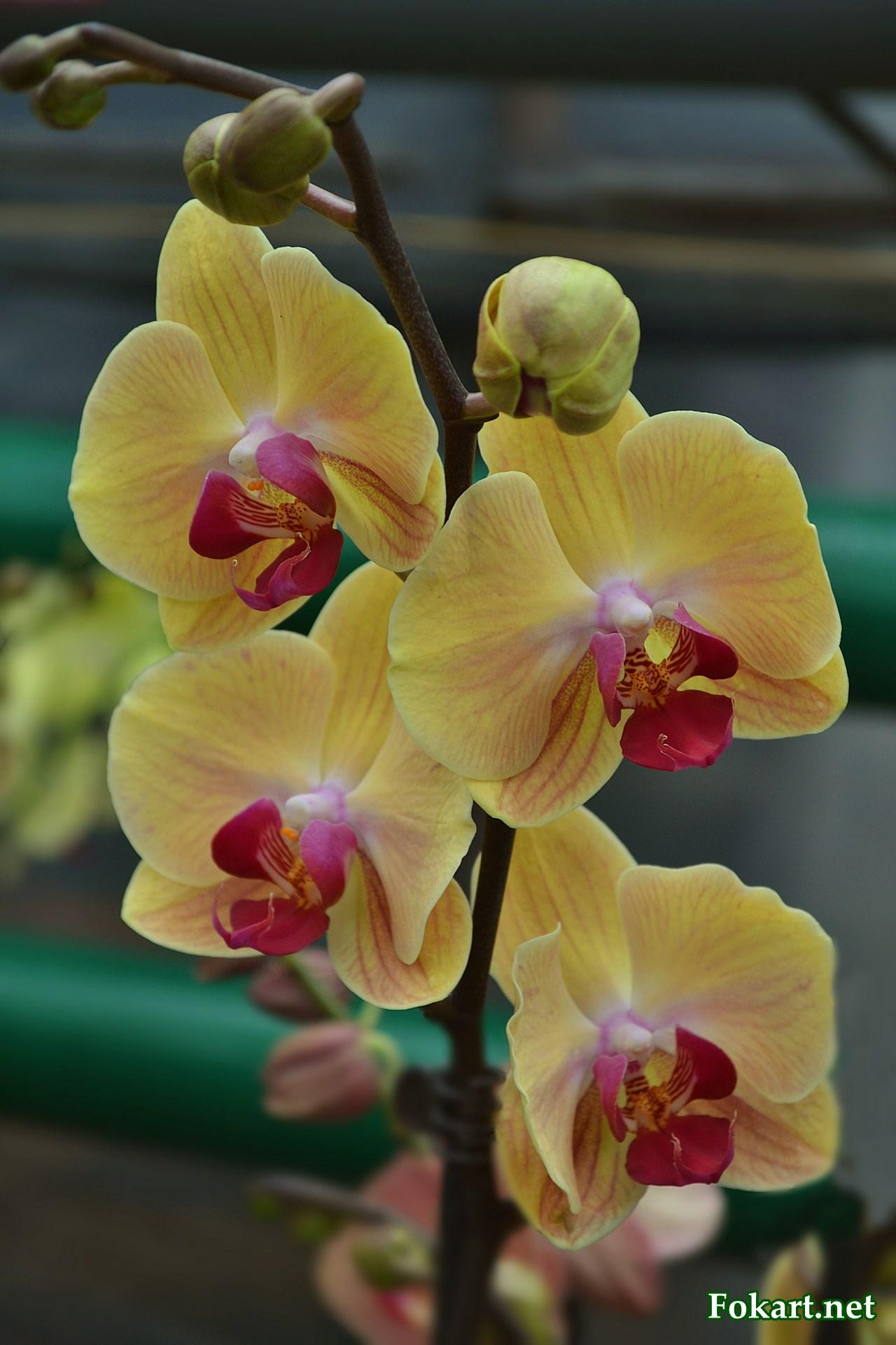Жёлтые цветки орхидеи с красноватыми полосочками и красной серединкой