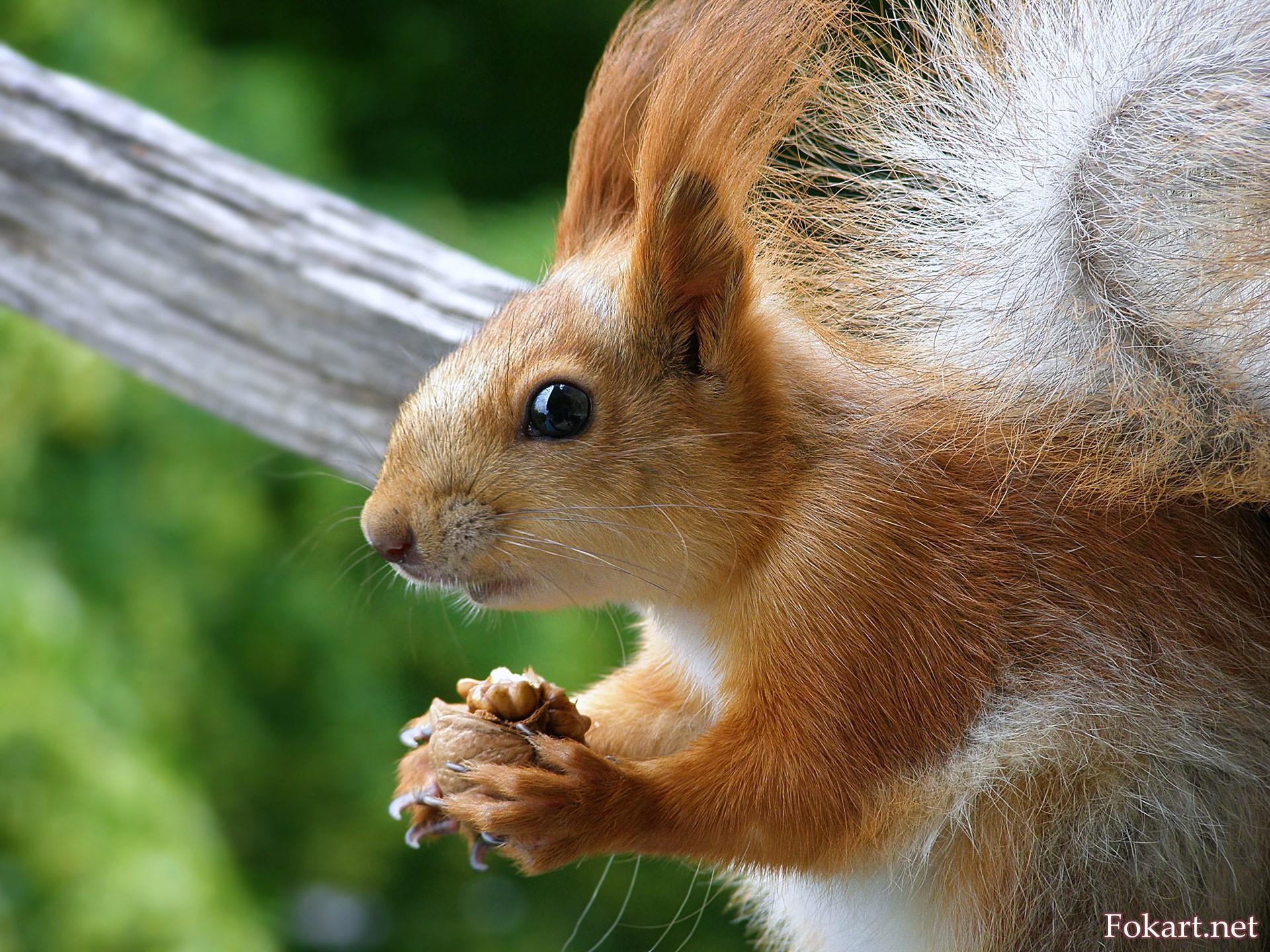 Забавный бельчонок с орешком