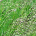 Колоски диких трав на ветру