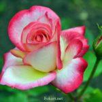 Яркая двухцветная роза, светлая, с насыщенно-малиновыми краями лепестков.