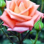 Красивая роза оттенков лососевого